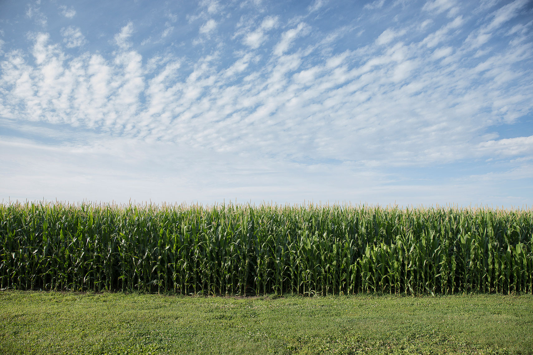 Corn field | Whiskey Acres Distillery | John Fedele Agricultural Photography
