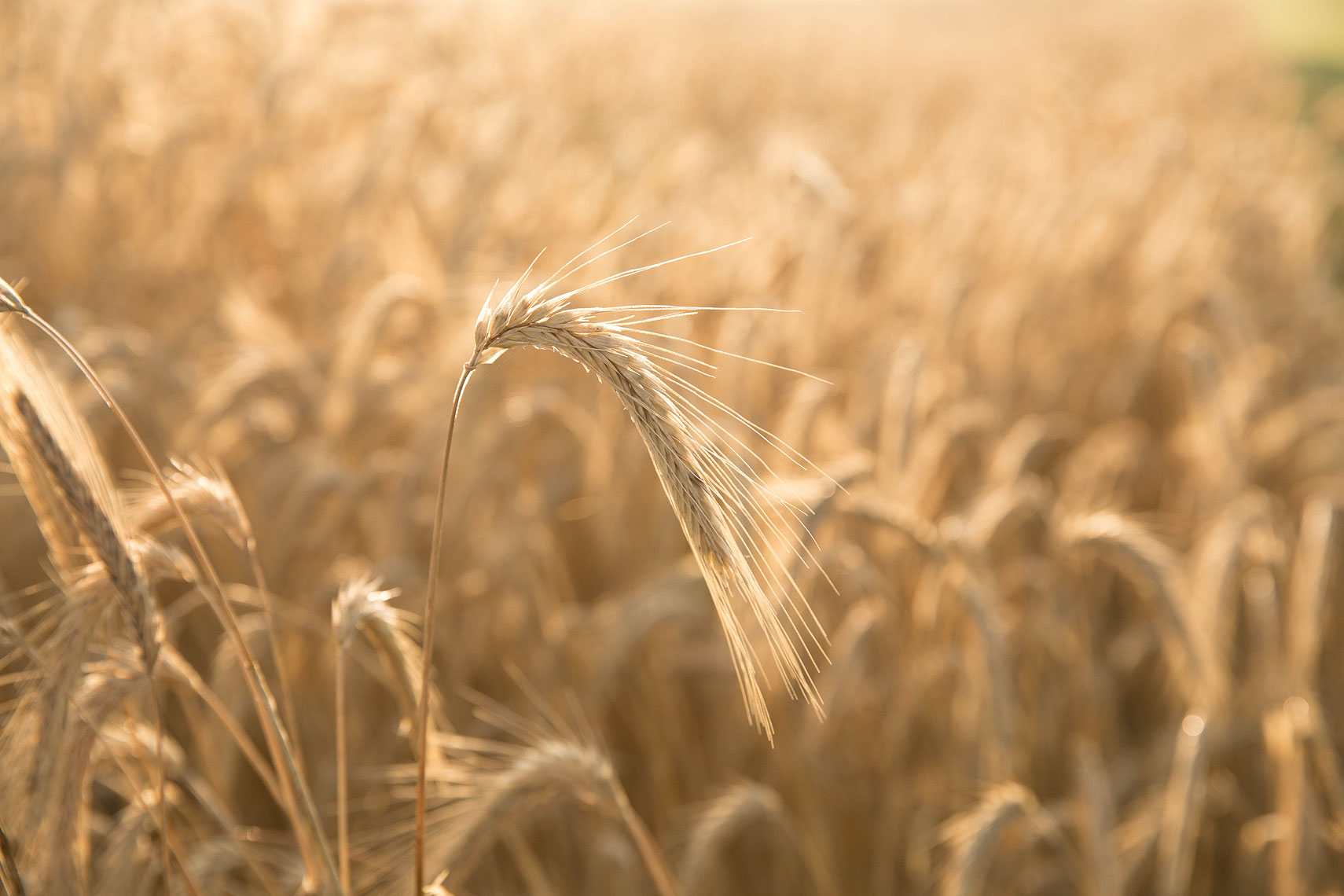 Wheat field | Whiskey Acres Distillery | John Fedele Agricultural Photography
